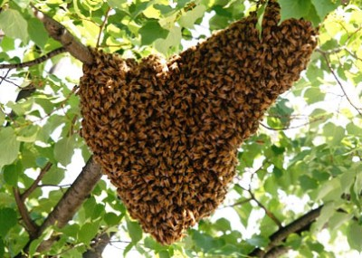 bee-removal-swarms